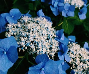 blue, hydrangea, and rainy season image