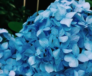 blue, flower, and hydrangea image