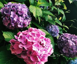 flower, hydrangea, and japan image