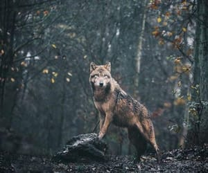 Animales, animals, and lobo image
