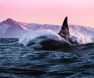 animal, beauty, and killer whale image