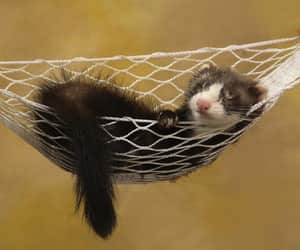 animal, ferret, and hammock image