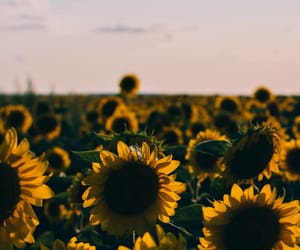 aesthetic and sunflower image