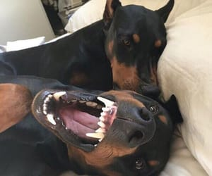 dog and доберман image