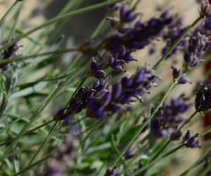 lavender, photo, and nature image