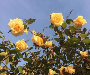 flowers, yellow, and rose image