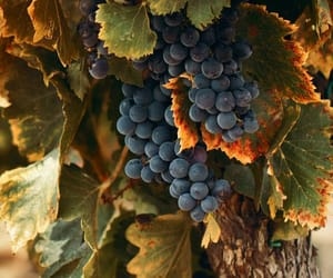grapes and nature image