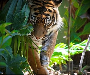 animal, tiger, and nature image