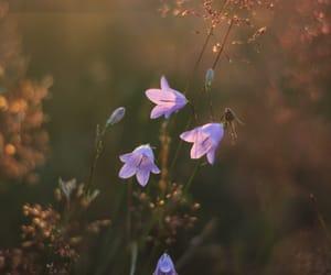 sunset and bellflower image