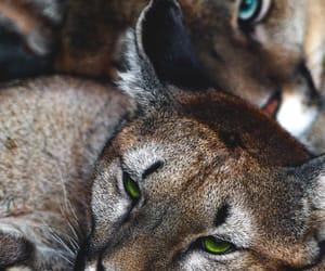 big cats and jaguars image
