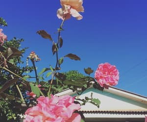 beauty, flower, and rosas image