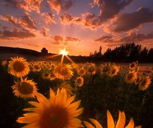 sunflower, sunset, and flowers image