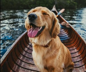 boot, puppy, and golden retriever image