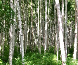 birch, white, and woods image