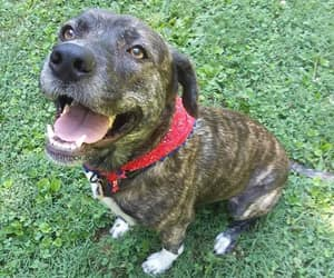 lab, pitbull, and brindle image