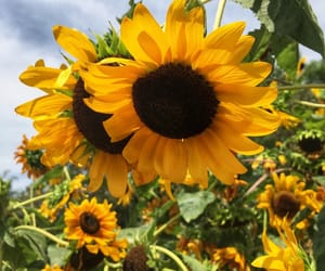 plants, sunflower, and flowers image