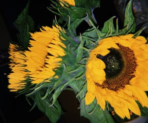 edgy, grainy, and sunflowers image