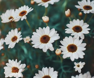 daisy, nature, and photography image