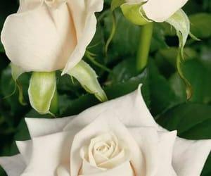 pics rose image
