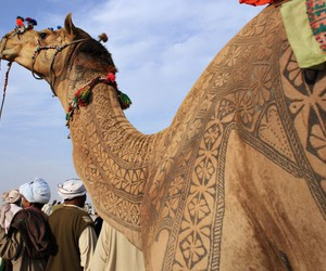 camel and india image