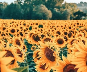 sunflower, photography, and flowers image