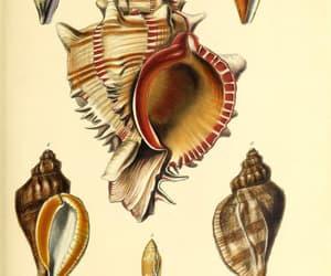 19th century, scientific illustration, and mollusk image