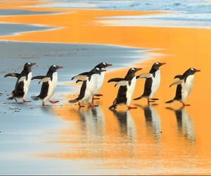 beach, gentoo penguins, and wildlifephotography image