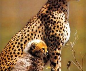 Animales, belleza, and jaguar image