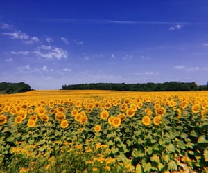 flower, france, and sunflowers image