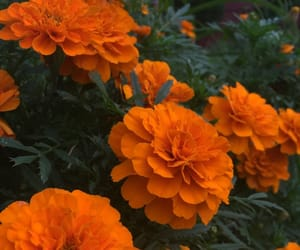 flower, green, and marigold image
