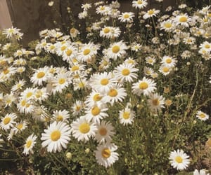 aesthetic, yellow, and daisies image