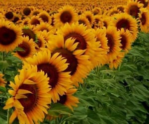 nature, photography, and sunflowers image