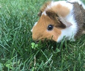guinea pig, photo shoot, and animal image