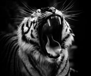 animals, black & white, and tiger image