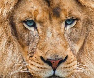 animal, animals, and lion image
