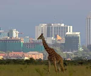 city, Girafe, and nairobi image