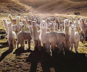 alpaca, flock, and nature image