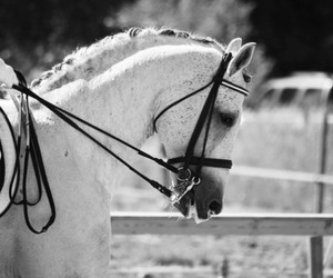 beauty, black and white, and dressage image