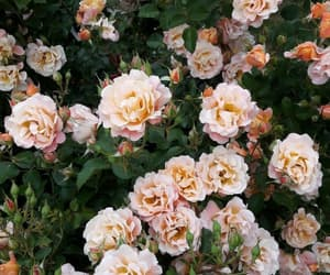 rose, wallpaper, and beakground image