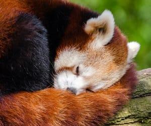 Red panda, cute, and sleepy image