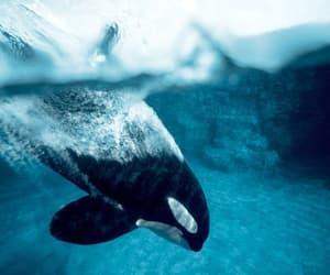 blue, orca, and sea image