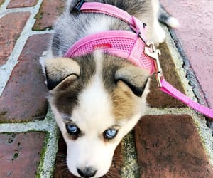 puppies, husky, and puppy image