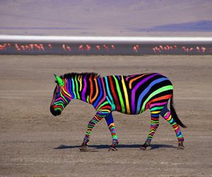 zebra, animal, and colors image