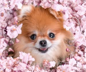 flowers, puppy, and pomerania image