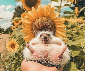 hedgehog and sunflower image