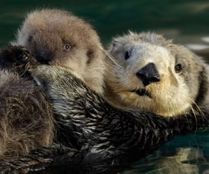 sea otters, cute, and love image