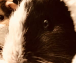 animals, pets, and guinea pig image