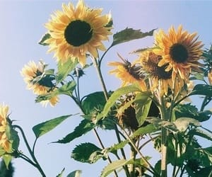 blue, pastel blue, and sunflower image