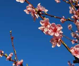 aesthetic, blossoms, and blue sky image