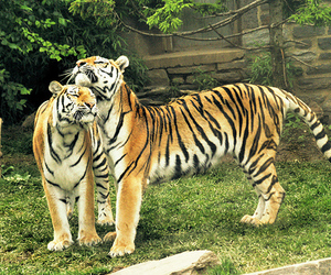 tiger, nature, and photo image